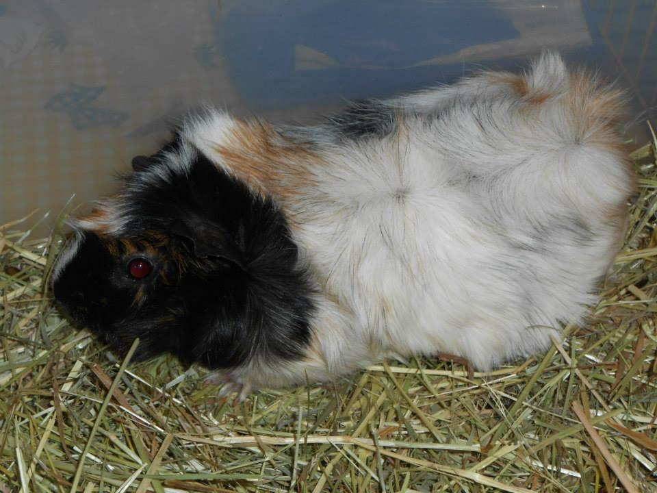 Cochon d'Inde à adopter chez Mimirongeurs