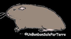 le comportement marquage au sol par le  cochon d'Inde