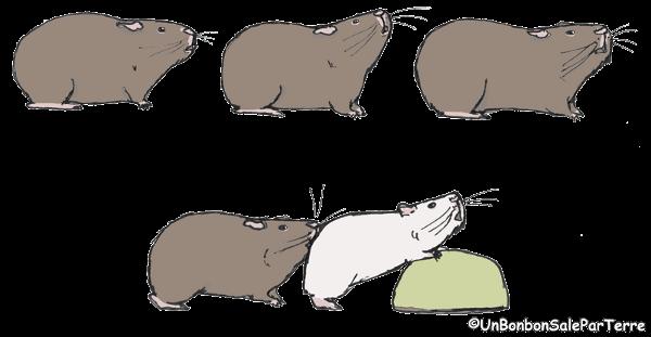 Morsure cochon d'Inde